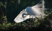 Poetry of Presence-book-cover-beautiful-egret-photo by David Moynahan.